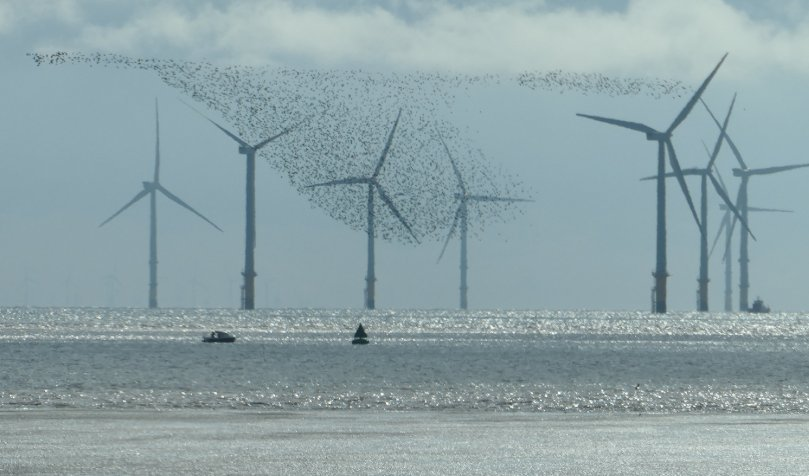 murmuration windmills