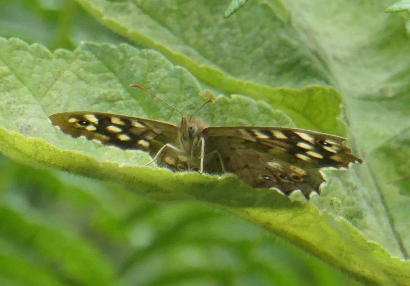 speckled wood 2020