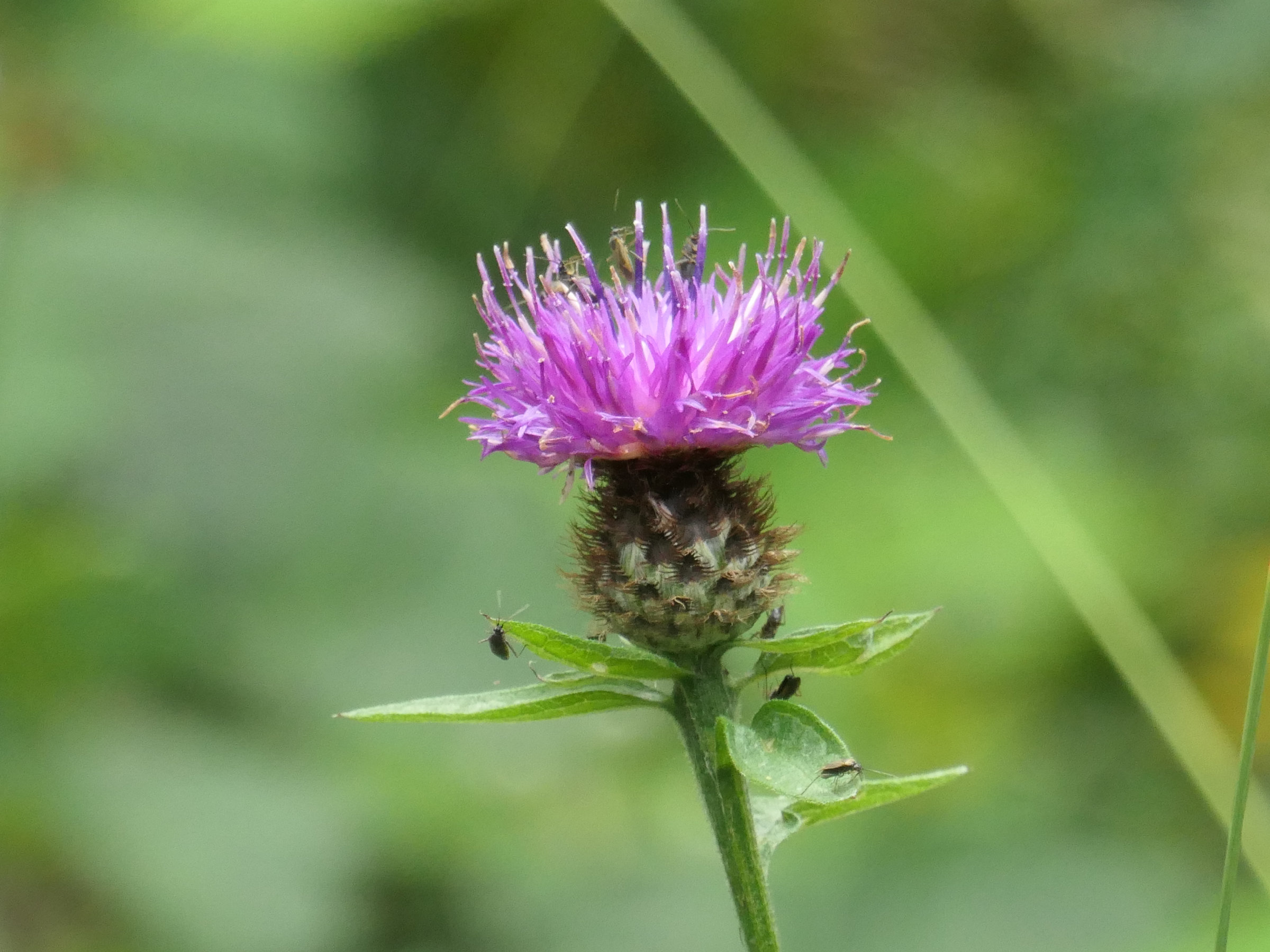 thistle flower with insects