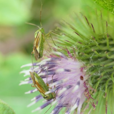 thistle green yellow flies