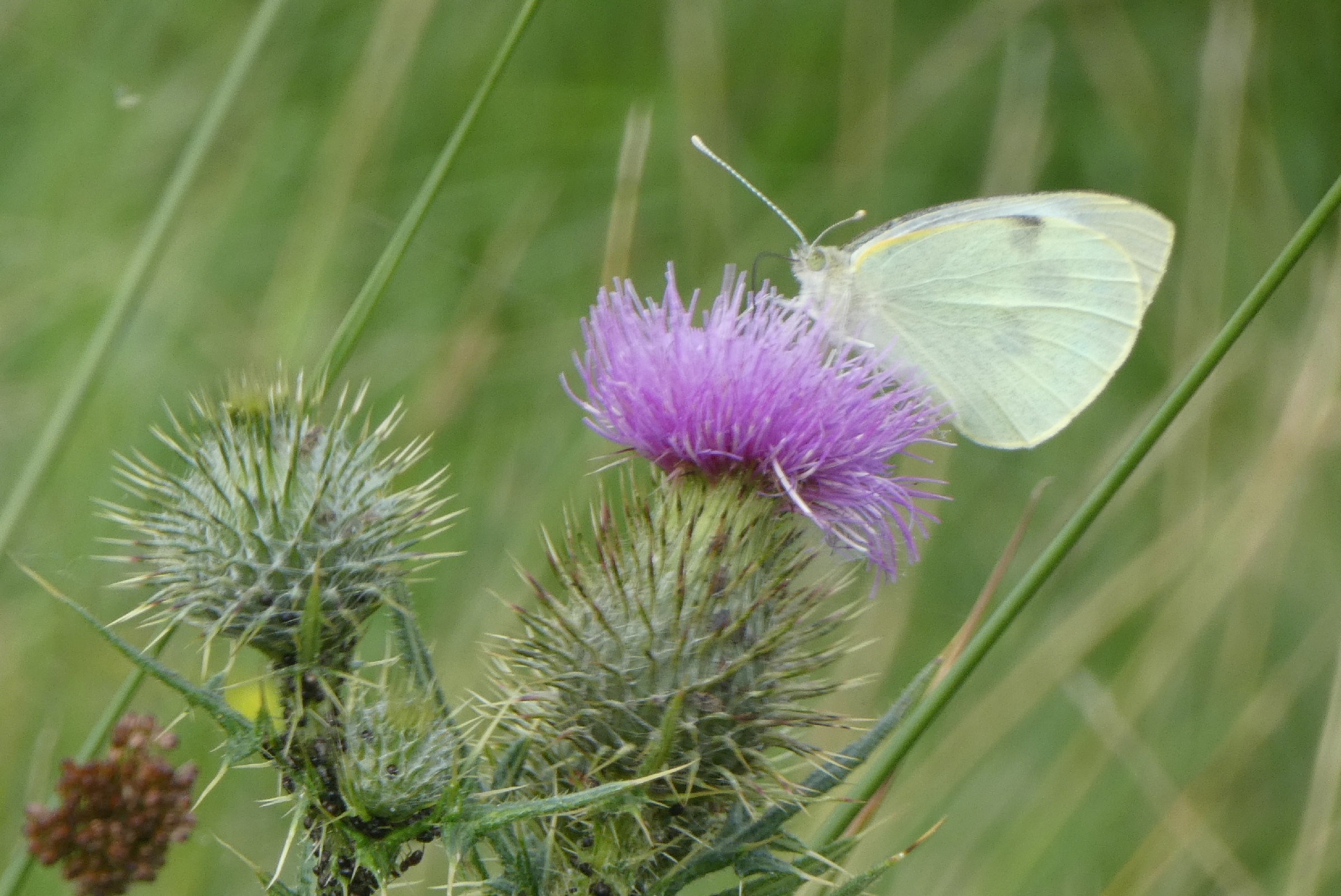 white on thistle 2